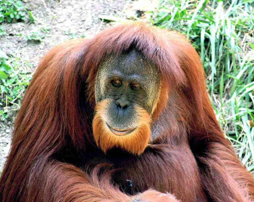 sumatran orangutan sumatra orangutan male sumatran orangutan sumatran orangutan endangered orangutan sumatra sumatran orangutan habitat sumatran orangutan facts sumatran orangutan population sumatran orangutan scientific name sumatran orangutan diet sumatran orangutan species sumatra orangutan trek sumatra orangutan tour sumatran orangutan extinction status sumatran orangutan conservation status orangutan sumatran the sumatran orangutan sumatran orangutan extinction sumatran orangutan weight sumatran orangutan endangered species sumatra orangutan discovery baby sumatran orangutan sumatran orangutan fun facts sumatran orangutan size sumatran orangutan baby sumatran orangutan location sumatra trek sumatran orangutan rainforest socp sumatra sumatran orangutan endangered animals