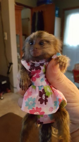 Pet Monkeys For Sale - Primates For Sales