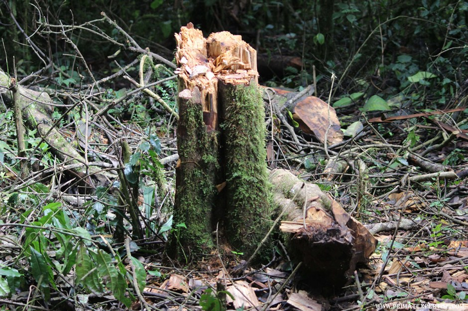Pitiful Destruction of the Grauer's Gorilla Natural Habitat by illegal Activities in Kahuzi-Biega National Park