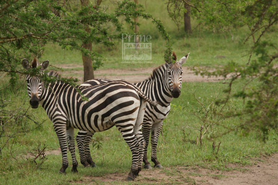 Prime uganda safaris - safari tour