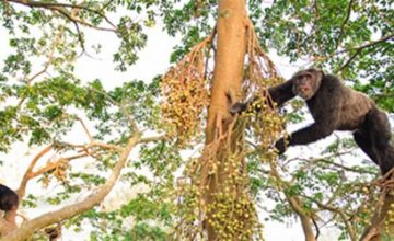 Chimpanzees of Kibale Forest uganda tour