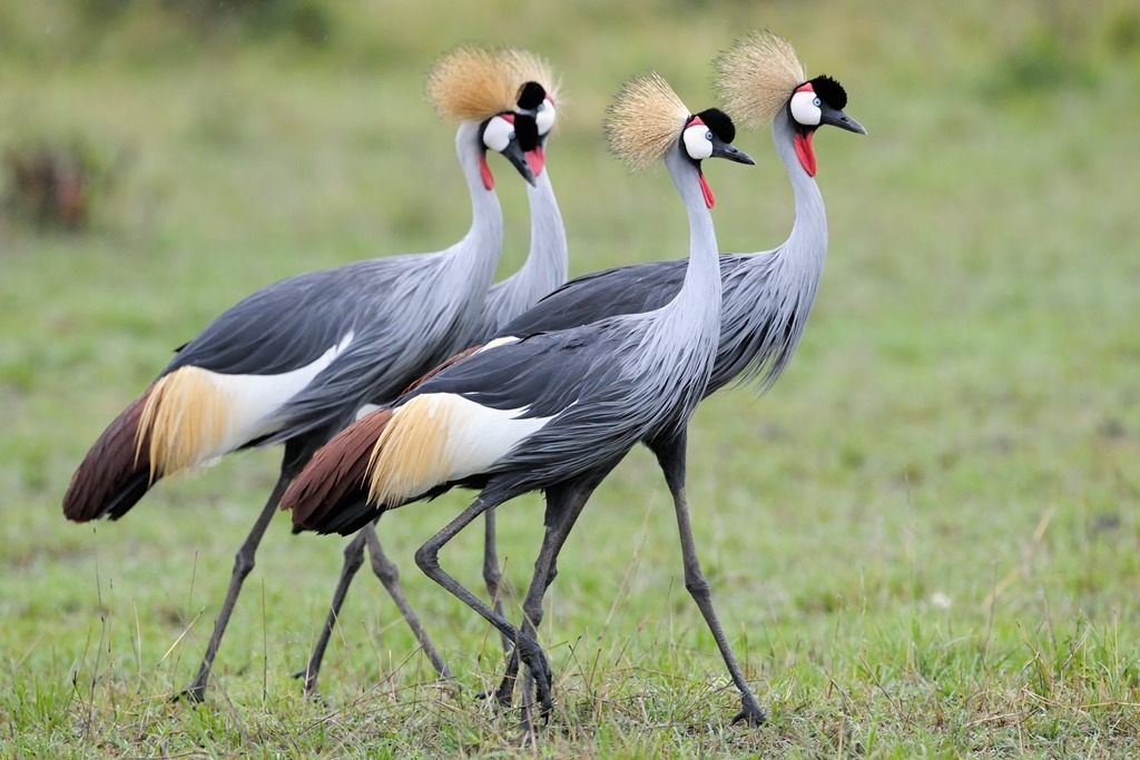 Grey crowned crested cranes sighted during a Uganda birding safari