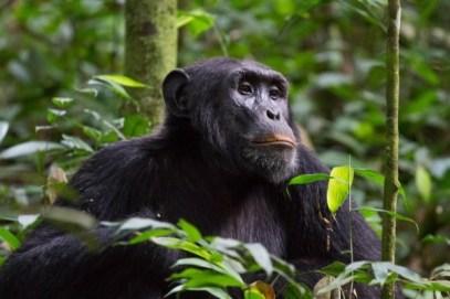 6 Days Rwanda Primate Safari – Track Chimpanzees & Colobus monkeys in Nyungwe Forest National Park & Track gorillas & golden monkeys in Volcanoes National Park