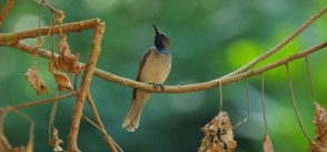 Birding in Volcanoes National Park