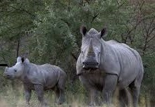 Rhinos- uganda wildlife