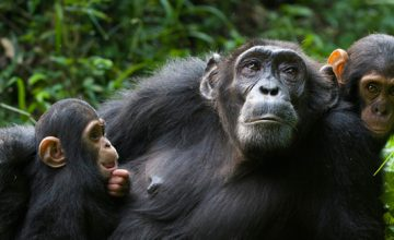 Chimpanzee trekking Safari in Uganda 5 Days