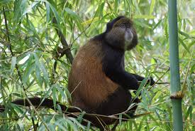 Golden monkeys -rwanda safaris