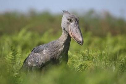 Mabamba Swamp Birding trip Excursion Uganda tour