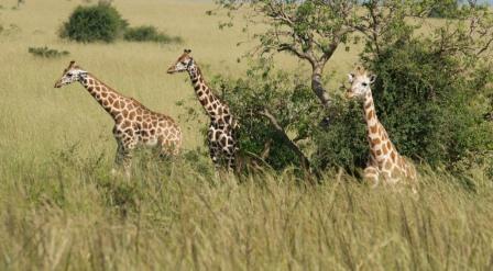giraffes on a uganda safari