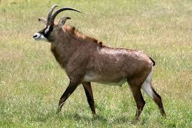 roan-entelope-rwanda-safaris-rwanda-tours