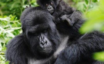 Rwanda Gorilla Trekking Tour & Dian Fossey – 3 Days
