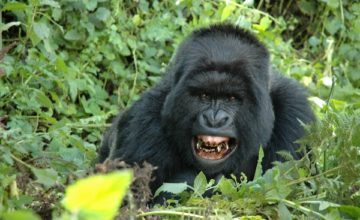 Rwanda Gorilla tracking Adventure 2 Days
