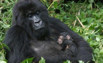 Uganda Gorilla Trekking Safari to Bwindi 3 days uganda tours
