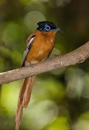 budongo birding safaris