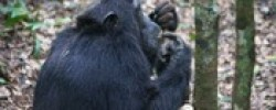 chimp-kibalenp