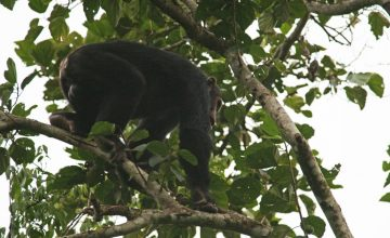 Short Chimpanzee Habituation Safari in Uganda 3 Days uganda tour