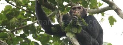 chimpanzee-in-kibale