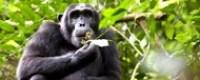 chimpanzee-uganda-tours