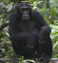 chimpanzeee uganda safaris