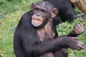 chimpanzee trekking tour