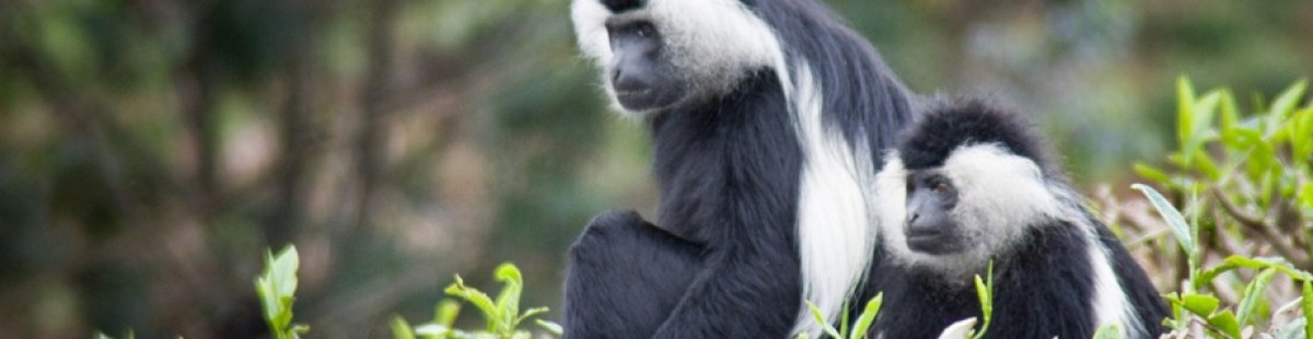 colobus Monkey tracking-rwanda safari