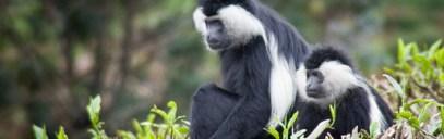 colobus-Monkey-tracking-rwanda-safari