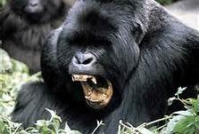 Rwanda gorilla trekking safaris