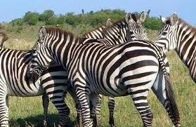 giraffes- tourist attractions in Uganda
