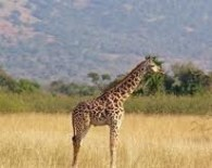 girafe- Akagera NP rwanda