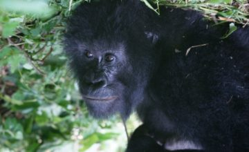 Uganda Gorilla Trekking Tour 12 Days uganda tour