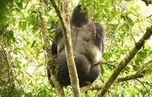 gorilla-in bwindi