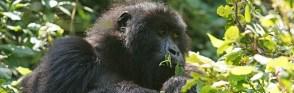 Gorilla Tours Uganda Safari