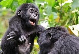 gorilla safaris -rwanda