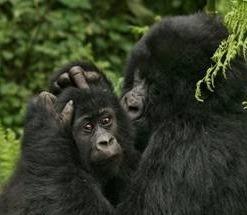 gorilla tours and safaris -uganda