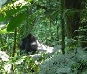 gorilla - tourist attractions in uganda