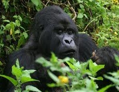 gorillas in the Virungas Rwanda