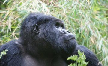 Birding & Gorilla trekking Uganda Safari 14 days uganda tour
