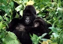 gorillla in uganda -uganda gorilla