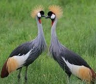 images of crested crane