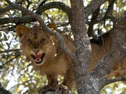 images tree climbing lion