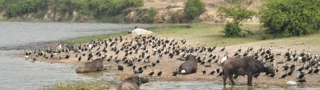 kazinga-channel-birds