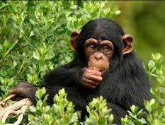 Chimp in kyambura gorge in uganda