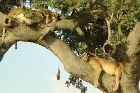 tree climbing lions at queen Elizabeth national park