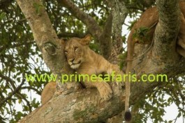 tree climbing lion in ishasha