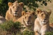 lions in uganda