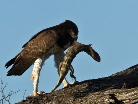 martial-eagle-uganda-safaris-uganda-tours