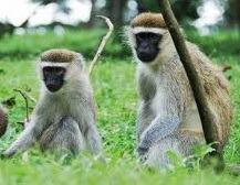 monkeys in uganda