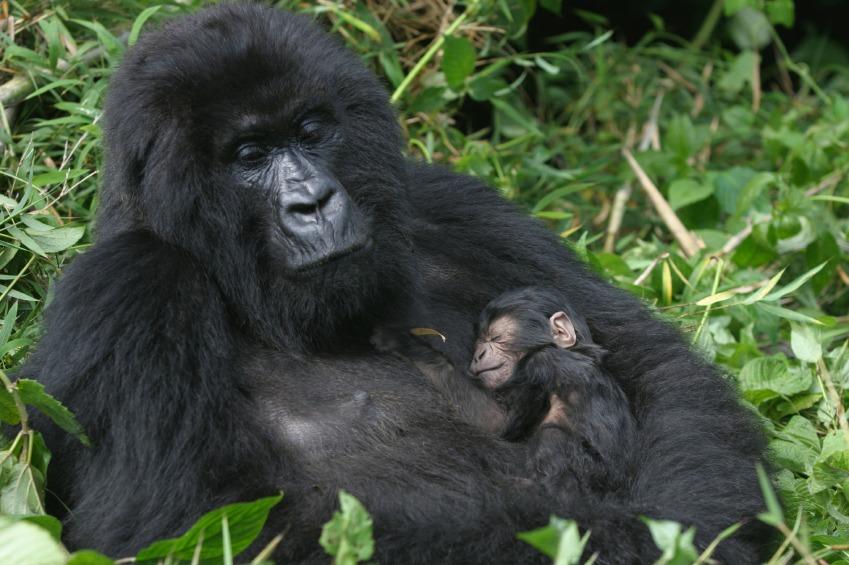 mountain gorilla safaris