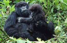 mountain-gorillas-uganda