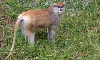 patas-monkeys-uganda-safaris-uganda-tours